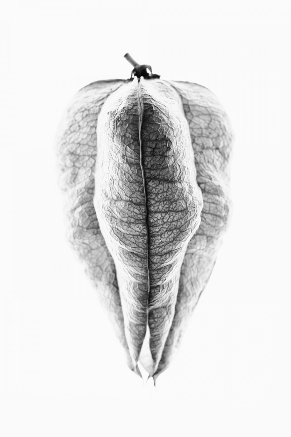 Black and white photograph of the seed pod of the Goldenrain Tree
