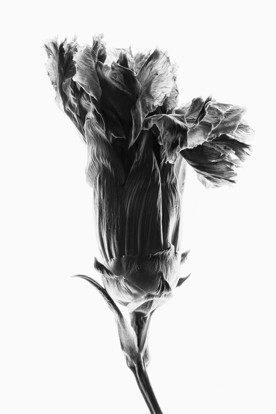 Dried Flower Bloom with Backlight, Black and White Photograph by Keith Dotson. Buy a fine art print.