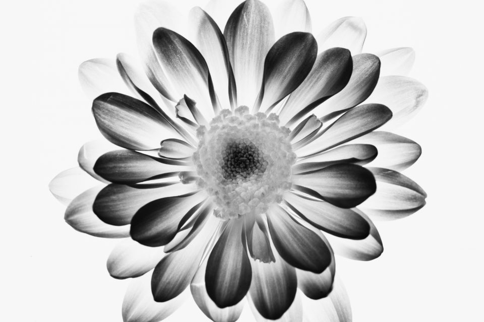 Flower Bloom Illuminated, Black and White Photograph by Keith Dotson.