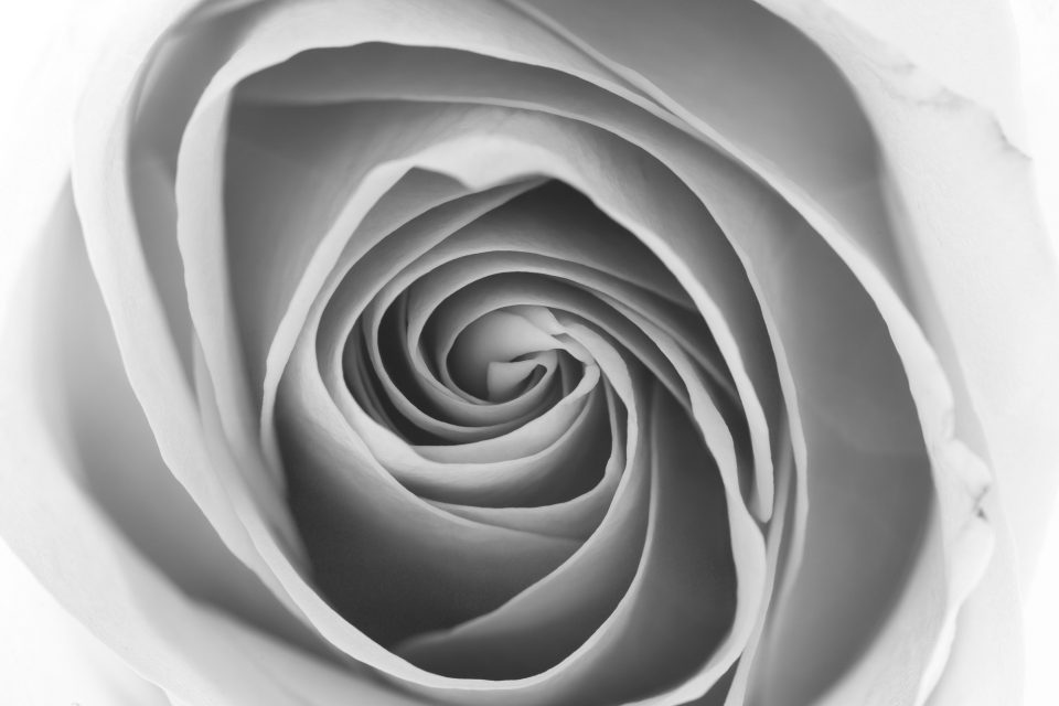 The Folds of a Rose, Black and White Photograph by Keith Dotson.