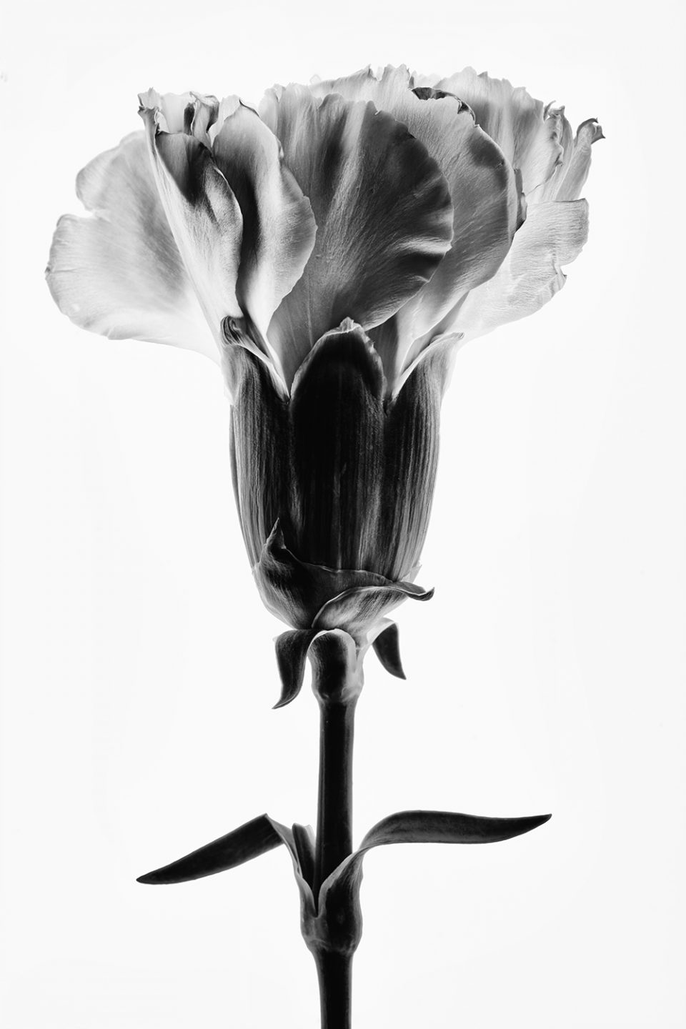 Flower Bloom Illuminated. Black and White Photograph by Keith Dotson.